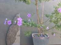 Chiseled granite-blue hibiscus